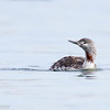 Plongeon catmarin.  Très rare de l'automne au printemps _  Red-throated Loon.  Very rare from fall to spring.