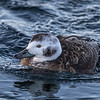 Harelde kakawi. Peu commun, printemps, automne; rare l'hiver _  Long-tailed Duck. Uncommon, spring, fall; rare during winter.
