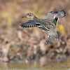 Sarcelle d'hiver.  Commun, printemps et automne.  Rare l'hiver.  Nicheur _  Green-winged Teal. Common, spring and fall.  Rare in winter.  Breeds.