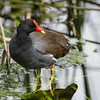 Gallinule commune adulte en Floride le 10 février 2014.<br /> <br /> Peu commun, printemps-automne.<br /> <br /> <br /> An adult Common Gallinule in Florida on 10 February 2014.<br /> <br /> Uncommon, spring to fall.