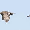 Canard chipeau.   Commun, printemps-automne.  Rare l'hiver.  Nicheur _ Gadwall.   Common, spring-fall.  Rare in winter.  Breeds.