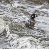 Arlequin plongeur.   Extrêmement rare, hiver _ Harlequin Duck.  Extremely rare, winter.