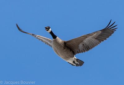 Bernache du Canada. Commun, printemps-automne. Peu commun, hiver. Nicheur _ Canada Goose. Common, spring-fall.  Uncommon, winter. Breeds