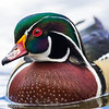 Canard branchu.  Commun, printemps-automne. Rare l'hiver.  Nicheur _  Wood Duck.  Common, spring-fall. Rare in winter.  Breeds.