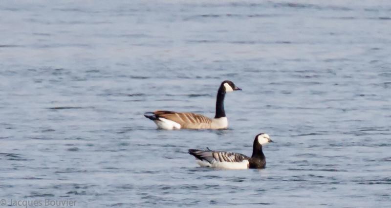 Bernache nonette sauvage (à droite) à St-Jean-sur-le-Richelieu QC le 11 novembre 2012.  Ma première à vie.<br /> Extrêmement rare, automne. <br /> Le seul record accepté en Ontario est d'un mâle tué par un chasseur le 20 novembre 2005 à la Baie des Atocas, Prescott-Russell. Cet individu était un juvénile au moment d'être bagué  le 9 novembre 2004 sur l'Isle of Islay en Écosse.<br /> <br /> A wild Barnacle Goose (at front) at St-Jean-sur-le-Richelieu QC on 11 November 2012. It was a lifer for me.<br /> Extremely rare, fall.<br /> A definitive basic, male, representing the first accepted record for Ontario, was shot by a hunter on circa 20 November 2005 at Baie des Atocas, Prescott-Russell.  It was travelling with Canada Geese.  It was banded as a juvenile on 9 November 2004 in the Loch Gruinart RSPB reserve on the Isle of Islay, Scotland, so its origin can clearly be established.