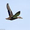 Canard colvert en plumage éclipse à la lagune de St-Isidore le 28 juillet 2010.<br /> L'un des premiers canards barbotteurs à arriver au printemps et l'un des derniers à nous quitter à l'automne. Commun, printemps-automne. Peu commun l'hiver.<br />  <br /> Il n'est pas facile à trouver sur le sentier récréatif de Prescott et Russell.  En juillet 2007 55 individus ont été observés à 8 différents  sites.  Les meilleurs endroits pour les voir sont dans les milieux humides se trouvant le long des km suivants:  27, 29, 39 et 58.<br /> <br /> <br /> <br /> A Mallard at the St-Isidore sewage lagoons on 28 July 2010.  Common, spring-fall. Uncommon in winter.<br /> <br /> <br /> This duck is not easy to find on the P/R recreational trail.  During July 2007 I saw 55 of them at 8 different sites.  The best places to see them are in the wetlands found along km: 27, 29, 39 and 58.
