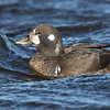 Arlequin plongeur.   Extrêmement rare, hiver _ Harlequin Duck.  Extremely rare, winter.