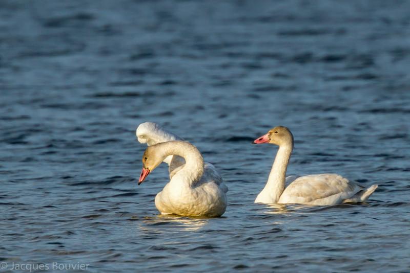 Cygne siffleur; 2 juvéniles foncés vus du pont-jetée du chemin Ault Island le 15 novembre 2013. Base du bec pas noir comme chez le jeune Cygne trompette.  <br /> <br /> Rare, printemps, automne. Très rare l'hiver.<br /> <br /> <br /> Two dark juvenile Tundra Swans off the Ault Island road causeway on 15 November 2013. Bill not black at base as in the young Trumpeter Swan.<br /> <br /> Rare, spring, fall. Very rare in winter.