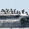 Petit Pingouin.  Extrêmement rare à l'automne _ Razorbill.  Extremely rare in fall.