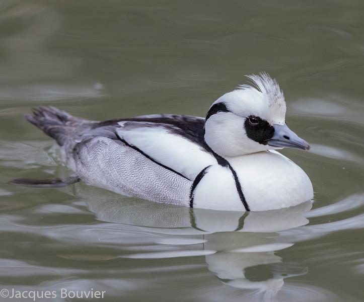 Harle piette.  Extrêmement rare durant l'hiver - Smew.  Extremely rare during winter.