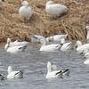 Oie de Ross. Rare au printemps et à l'automne; très rare l'hiver _ Ross's Goose. Rare in spring and fall; very rare in winter.