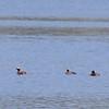 Grèbe esclavon, adultes en plumage nuptial; quelques individus d'un groupe d'une trentaine vu sur la rivière des Outaouais près de Lefaivre le 27 avril 2008.  <br /> <br /> Rare, printemps et automne.  Très rare l'hiver.<br /> <br /> Adult Horned Grebes in breeding plumage, 5 from a group of about 30 seen on the Ottawa River at Lefaivre on 27 April 2008.  <br /> <br /> Rare, spring and fall.  Very rare in winter.