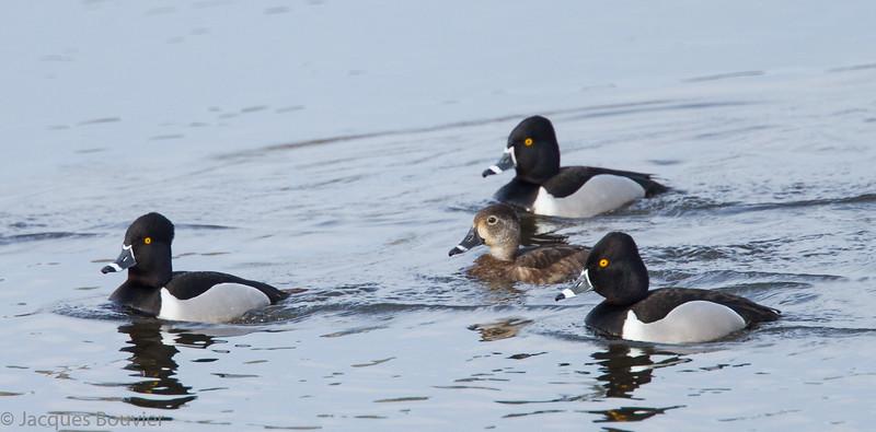 Fuligule à collier, mâles et femelle, au quai de Grenville le 16 avril 2012.  <br /> <br /> Commun, printemps-automne.  Rare l'hiver.  Nicheur possible.<br /> <br /> Male and female Ring-necked Ducks at the Grenville wharf on 16 April 2012.  <br /> <br /> Common, spring-fall.  Rare in winter.  Possibly breeds.