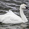 Cygne trompette. Rare, printemps-été _  Trumpeter Swan. Rare, spring-summer.