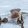Eider à tête grise femelle de premier hiver au parc Andrew Haydon à Ottawa le 13 novembre 2013.  Au lieu d'être pointu comme chez les adultes, le bout des plumes de la queue des jeunes de l'année a la forme d'un ''V'' comme dans cette photo.<br /> <br /> Les eiders sont parmi les seuls 5 ou 6 canards à se propulser sous l'eau avec l'aide de leurs ailes et de leurs pieds.<br /> <br /> Extrêmement rare l'hiver.<br /> <br /> <br /> A first winter female King Eider at Andrew Haydon Park in Ottawa on 13 November 2013. All juvenile eiders (like most waterfowl) have notch-tipped tail feathers rather than the adult's pointed tips.<br /> <br /> Contrary to most other diving birds, eiders along with the Long-tailed Duck, Harlequin Duck and scoters (except Black) use their feet and wings for propulsion underwater, and dive with a noticeable wing flick as the eider in this photo.  All other diving birds use only their feet for underwater propulsion and dive with wings closed tightly against the body.<br /> <br /> Extremely rare in winter.