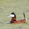 Érismature rousse. Peu commun, printemps-automne; très rare l'hiver. Nicheur _ Ruddy Duck.  Uncommon, spring-fall; very rare in winter.