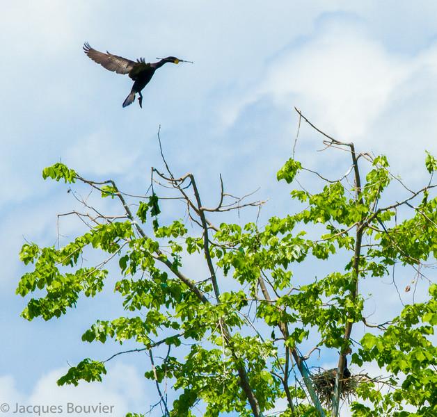 Cormoran à aigrettes adulte transportant une petite branche pour son nid sur le fleuve St-Laurent (Lac St-François) au sud de South Lancaster sur le côté du Québec le 20 mai 2012.<br /> <br /> Merci Jim LeBlanc.<br /> <br /> Commun, printemps-automne. Rare l'hiver. Nicheur.<br /> <br /> <br /> An adult Double-crested Cormorant carrying a small branch for its nest on the St-Lawrence River (Lake St. Francis) south of South Lancaster on the Quebec side on 20 May 2012.  <br /> <br /> Merci Jim LeBlanc.<br /> <br /> Common, spring-fall. rare in winter. Breeds