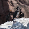 Grand Cormoran.  Extêmement rare au printemps et l'hiver _ Great Cormorant.  Extremely rare spring and winter.