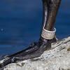 Bernache du Canada portant une bague en métal au parc Britannia à Ottawa le 21 juillet 2013. <br /> <br /> Commun, printemps-automne. Peu commun, hiver. Nicheur.<br /> <br /> A Canada Goose wearing a metal band at the Britannia Conservation Area in Ottawa on 21 July 2013.<br /> <br /> Common, spring-fall. Uncommon, winter. Breeds