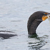 Cormoran à aigrettes.  Commun, printemps-automne. Rare l'hiver. Nicheur _  Double-crested Cormorant. Common, spring-fall. Rare in winter. Breeds.