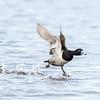 Fuligule à collier.  Commun, printemps-automne.  Rare l'hiver.  Nicheur _ Ring-necked Duck.  Common, spring-fall.  Rare in winter.  Breeds.
