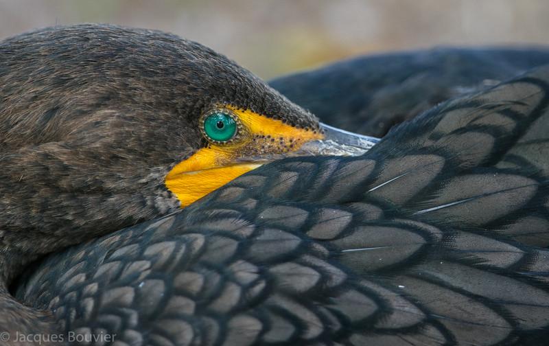 Cormoran à aigrettes immature en Floride le 12 février 2014. Le seul cormoran de l'Est de l'Amérique du Nord à avoir une rayure jaune-orange devant l'oeil.<br /> <br /> Commun, printemps-automne. Rare l'hiver. Nicheur.<br /> <br /> An immature Double-crested Cormorant in Florida on 12 February 2014.  The only cormorant in Eastern North America to have a yellow-orange stripe in front of the eye.  <br /> <br /> Common, spring-fall. rare in winter. Breeds.
