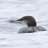 Plongeon huard. Peu commun, printemps-automne.  Rare l'hiver.  Nicheur _ Common Loon.  Uncommon, spring-fall.  Rare in winter.  Breeds.