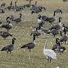 Cygne siffleur juvénile sur la propriété Manderley sur le chemin Laflèche près de Casselman le 14 novembre 2010.  La base du bec est rose et n'est pas noire comme chez le jeune C. trompette <br /> <br /> Rare, printemps et automne.  Très rare l'hiver.<br /> <br /> A juvenile Tundra Swan on the Manderley fields along Laflèche road near Casselman.  The bill is pink at base, not black as in juvenile T. Swan.<br /> <br /> Rare, spring and fall. Very rare in winter.