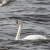 Cygne tuberculé.  Rare, printemps-automne; très rare l'hiver. Nicheur possible _ Mute Swan.  Rare, spring-fall; very rare in winter. Possibly breeds.