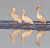 White Pelicans soaking up morning sun