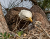 Bald Eagle with hungry chick