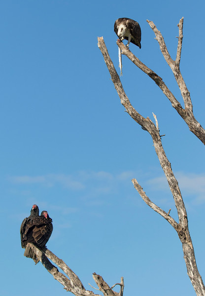 Two Turkey Vultures waiting for scraps