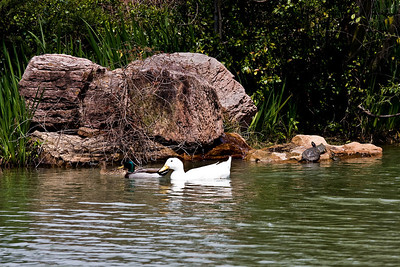 duck-turtle-1