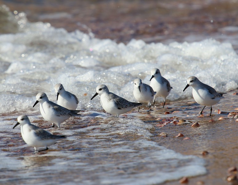 Sanderlings at Meigs Pt.