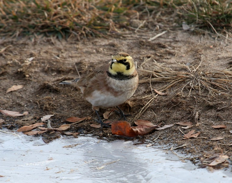 Horned Lark at Nature Center Grass Lot