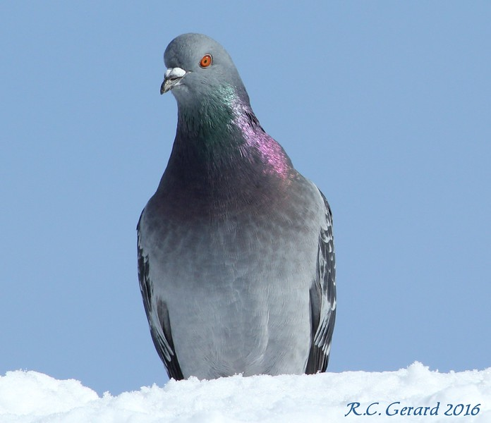 Rock Pigeon at Campgrounds 2-6-16