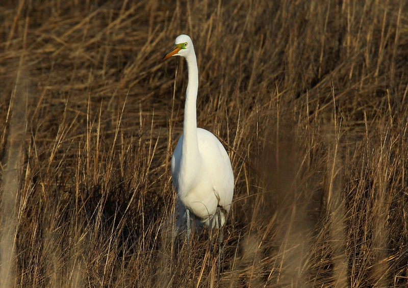 Egret in West Beach Salt Marsh