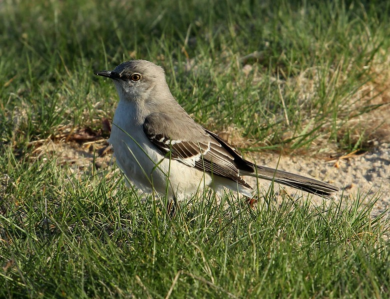 Northern Mockingbird in campgrounds.