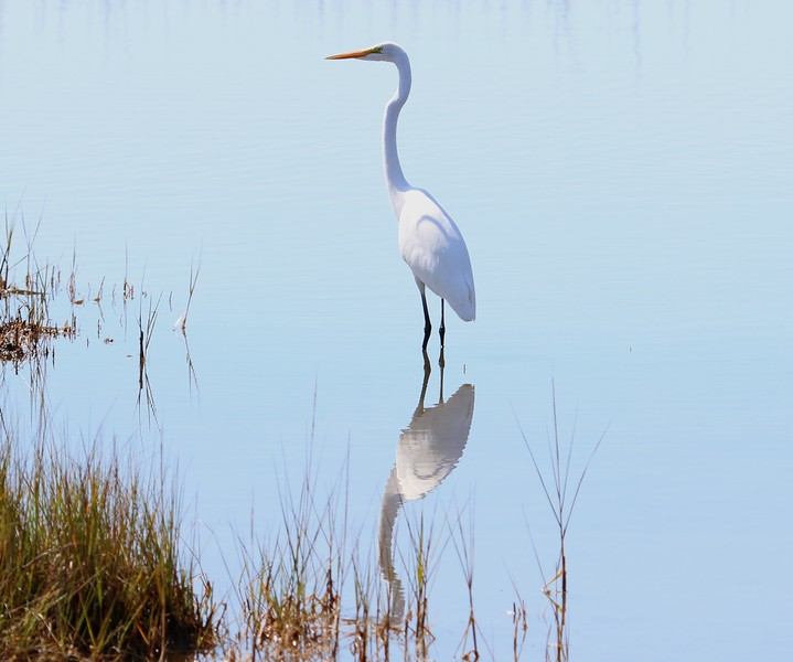 Great Egret at Meigs Point