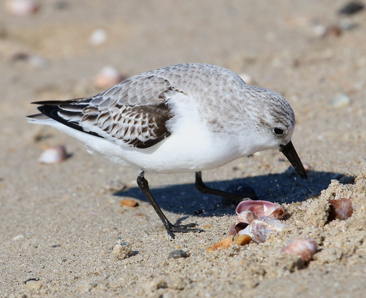 Sanderling at Meigs Pt.