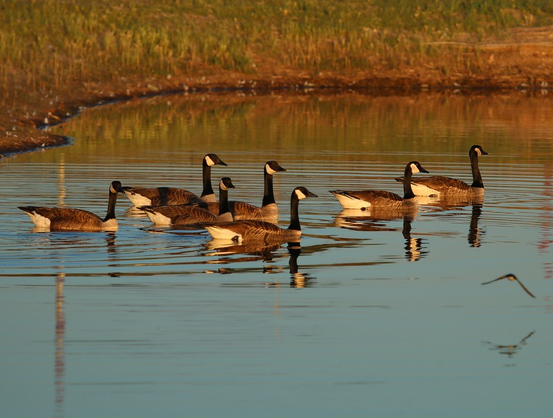 Canadian Geese - West Beach detention area
