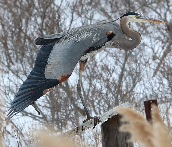 Great Blue Heron at Meigs Pt.