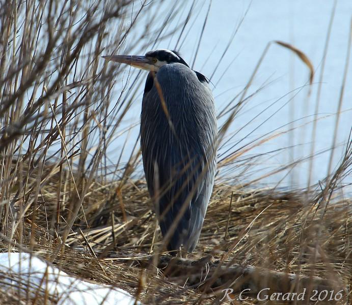 Blue Heron - Hammonasset SP, Madison