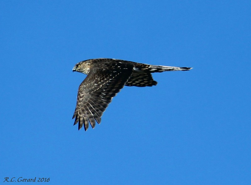 Coopers Hawk - Hammonasset SP, Madison