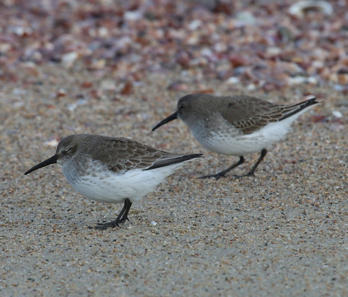 Dunlins at Meigs Pt.