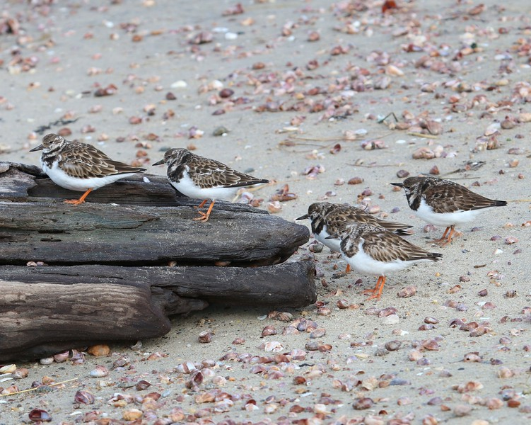Ruddy Turnstone at Meigs Pt.