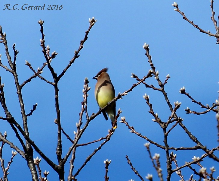Cedar Waxwing - Hammonasset SP Madison