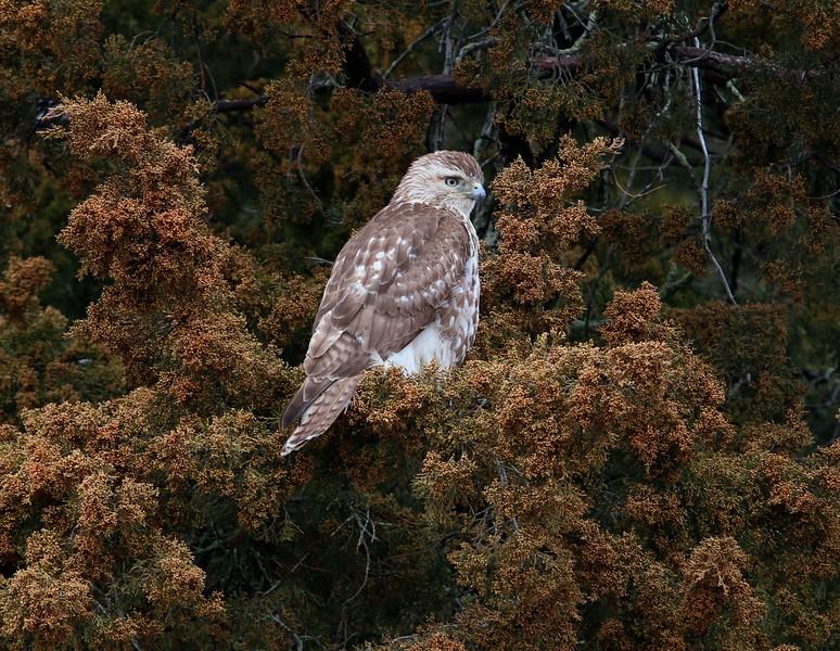Red Tail Hawk 4/1/17