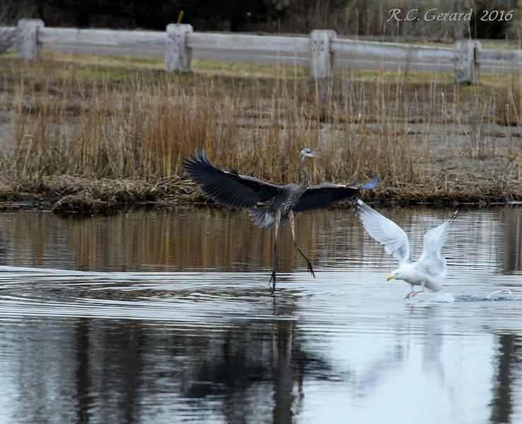 Heron intimidates at Gull at West Beach Wetland