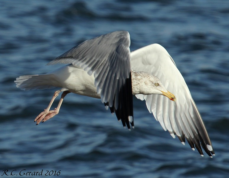 Herring Gull Hammonasset SP Madison, CT. 2016